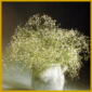 Das Schleierkraut wird als Schnittblume benutzt