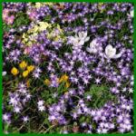 Schneestolz, viele zarte Blütensterne