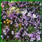Schneestolz, Kleinzwiebelgewächse, viele zarte Blütensterne