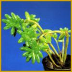 Sedum – Arten (Sukkulente) gibt es wie Sand am Meer