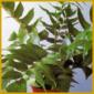 Sichelfarn, einer der einfachsten Farne, kann viele Jahre alt werden
