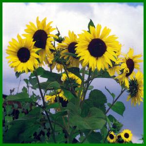 Sonnenblume, Standort, Boden, Pflege