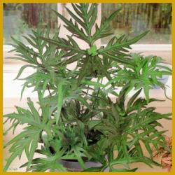 Speerfarn, ein kleiner Farn mit gefiederten Blättern