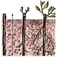 Steckholz-Vermehrung
