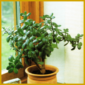 Talerbaum oder Geldbaum, eine weitverbreitete Sukkulente