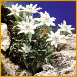 Edelweiß die kleine, berühmte Pflanze
