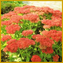 Fetthenne ist eine mehrjährige Staude und Trockenblume