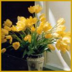 Tulpen, (Tulipa) gibt es in unzähligen verschiedenen Sorten