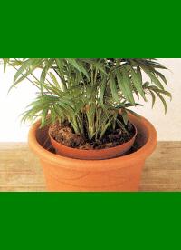 Umtopfen von Zimmerpflanzen