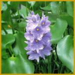 Wasserhyazinthe, eine recht üppige Wasserpflanze