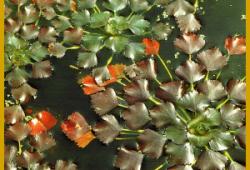 Wassernuss ist eine einjährige Pflanze