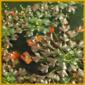 Wassernuss, ist eine einjährige Wasserpflanze, ideal für den Gartenteich
