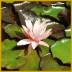 Pflege der Wasserpflanzen und Teichpflanzen