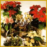 Blütenpracht im Winter, richtige Pflege