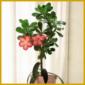 Wüstenrose,  wunderschöne Trichterblüten, weißlich-rosa mit gelbem Schlund